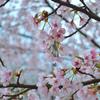 「春のスミレ」