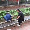 やまびこ:タマネギの苗を植えました