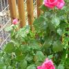 雨の中の開花…レジス・マルコン