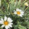 カザニアがまた咲きだした花壇