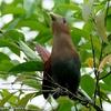 ベリーズ 道路脇の Squirrel Cuckoo (スキレル カックー)