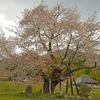 尾所の桜 ~津山に咲く岡山県有数の桜の名木~