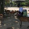 猛暑禍の奈良の鹿たち&カレー