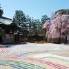 高台寺のしだれ桜2020、虹色の庭園で満開!!