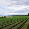 タマネギ畑に納豆菌を散布してみました。