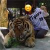 タイ、ミャンマー旅行 DAY2*チェンマイ タイガーキングダムに阪神の法被を着て挑む
