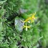 ヤクシマラン    ランの花らしくない花
