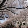 中野、桜吹雪散歩。