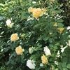 バラ栽培講座(19) イングリッシュローズの歴史と人気品種