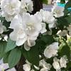 梅花空木の花です