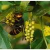 ヒイラギナンテンとスズメバチ