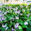 香嵐渓 3月下旬 カタクリの花