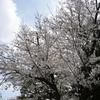 近所の公園で桜などの撮影