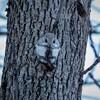 近所の森でめっちゃめんこいエゾモモンガを撮ってきたよ!【1月23日撮影】