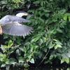 獲物を狙って飛ぶササゴイ2