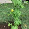 庭にできた野菜畑 ゴーヤの花が咲きました!