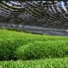 [d:matcha dictionary] -3-  海外輸出産品としてのお茶栽培