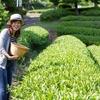 『茶摘み体験』をしに奥久慈へ。袋田の滝周辺散策。