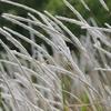 チガヤ(茅根)の花言葉とは?雑草だけど効能あるの?