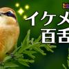 0917【モズの鳴き声】オナガ親子柿食べられる。カルガモにコガモ。猛禽類ツミの急降下。カワセミ、朝鮮朝顔の実【今日撮り野鳥動画まとめ】 #身近な生き物語