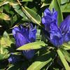 幸せを呼ぶ青い蜂に似ている?青い紋様が美しいヘリヒラタアブ