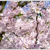 「西尾みどり川桜まつり」 改め 「西尾六万石桜まつり」 今年もコスプレまつりやってるよ!