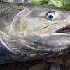 茨城県久慈川の鮭釣り