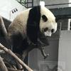 パンダに会いたい
