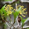 山茱萸の若葉と花