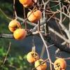 庭木の剪定と柿、みかんの収穫