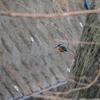 2017.01.29 三浦半島の里山で野鳥散策