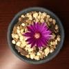バラ丸がサボテン開花の嚆矢でした