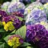 紫陽花を見に行くならどこがいい?【千葉県】