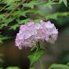 小さな渡り鳥さんと紫陽花