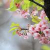シジュウカラは春を言祝ぐ