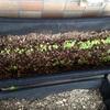 【ベランダ菜園】小松菜の間引きとおばあちゃんの畑の話