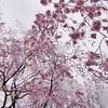 雨散歩・枝垂桜