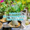 たにログ257 【塊根植物】多肉狩りの戦利品と塊根植物のコーデックスが仲間入り!