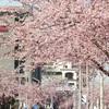 東区泉のオオカンザクラ並木