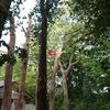 直径m級のクスノキの巨木群の断幹枝降ろし 5~6日目 斜めな巨木