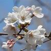彩の国桜便り〜県内各所で開花!イベントも賑やかに!