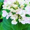 紫陽花の花 8選