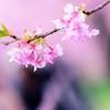 【一眼レフ】河津桜を見に河津に行って地獄を見てきたが、やはり河津桜は綺麗だった。