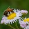 日本 ハルジオンとミツバチ