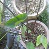 コーヒーカップと言う名の植物。
