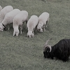 【短編小説】 黒い羊