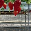【放浪記】4月のイチゴ狩りのおすすめ in