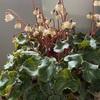 シクラメンのこれから管理&種から育てた小さな苗の植え付け バラ葉面散布6回目