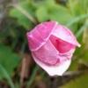 【北海道】初雪に負けない!11月の我が家の花