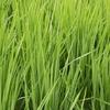 への字の稲、初出穂。1本植えも順調!